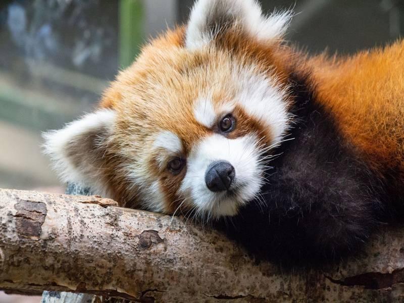 https://www.hoteluniversel.com/wp-content/uploads/2014/11/panda-roux.jpg